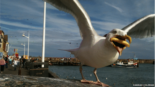 Seagull with a french fry