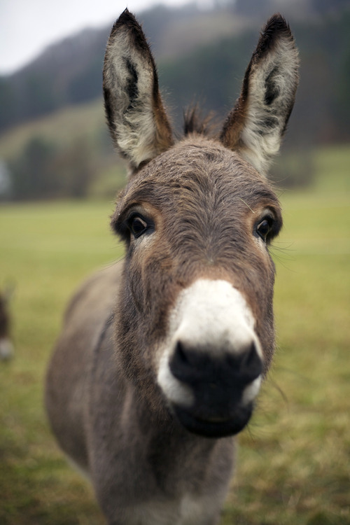 Feeling like a donkey. Luckily, it's a cute one.
