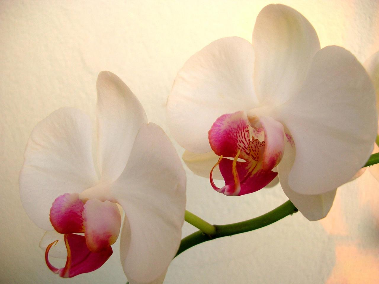 white-orchid-ndash-ab